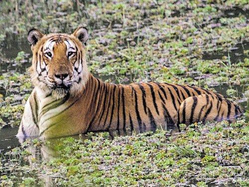 Star of safaris, Bandipur Prince's charm may be his undoing