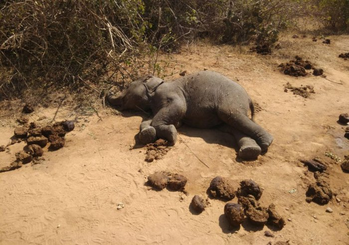 Elephant calf dies in Bandipur