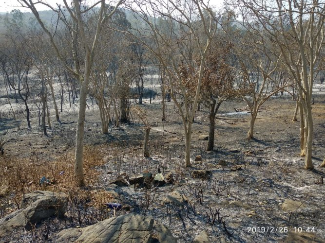 Charred trees in Bandipur National Park. (DH Photo/T R Satish Kumar)