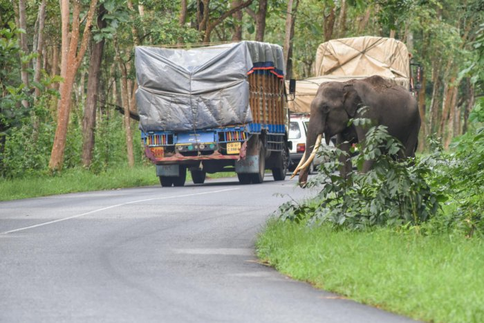 An elephant crossing the road in Bandipur. (DH Photo by S K Dinesh)