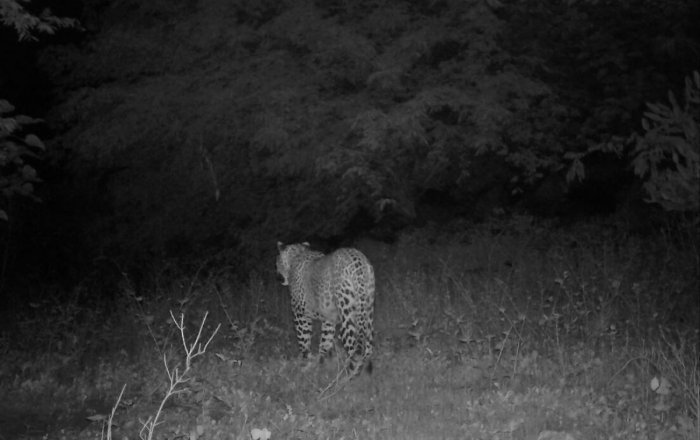 A leopard and two bears camera-trapped in bushes of Indargi-Vanaballari region in Koppal taluk.