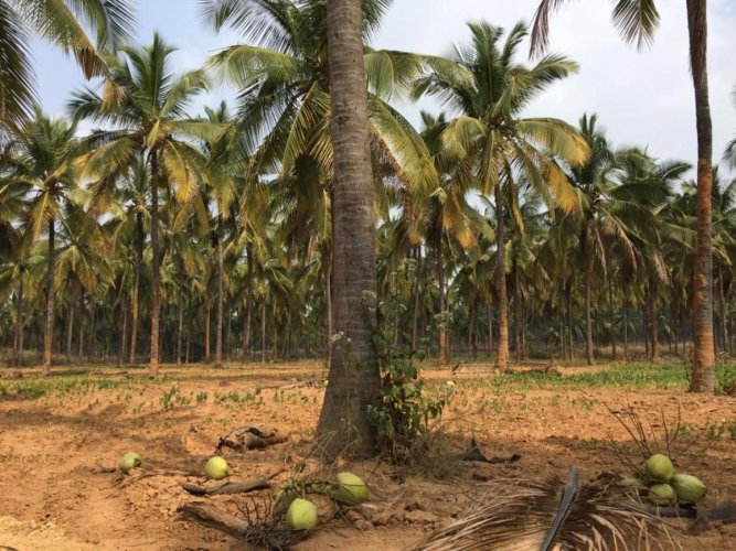 The elite seed coconut farm at Kannamangala near Whitefield on Hoskote Road where the horticulture department is creating a botanical garden close on the lines of Lalbagh. DH Photo/ Niranjan Kaggere