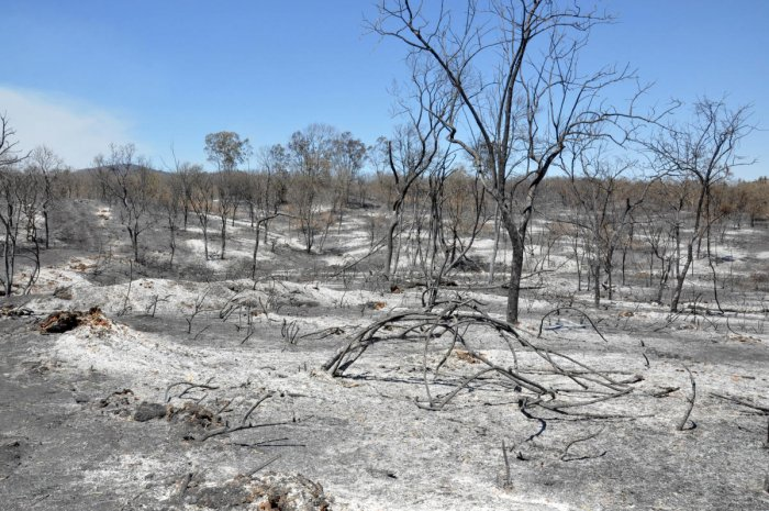 A charred forest in Bandipur.