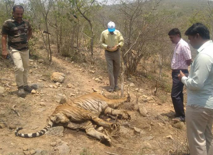 A carcass of a tigress was found at Nagarahole National Park in the taluk on Monday. DH file photo for representation only