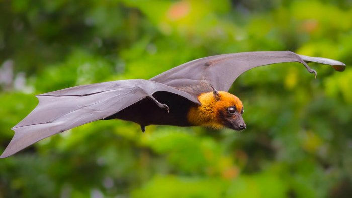 Nipah virus (NiV), spreads from bats, cause multiple clinical presentations, from asymptomatic infection to the acute respiratory syndrome and fatal encephalitis.