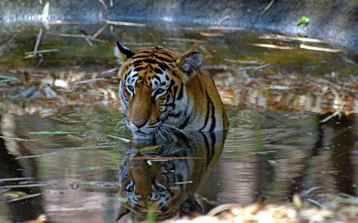 To beat the heat, a tiger is seen relaxing in a pond at Dr Shivaram Karanth Biological Park at Pilikula, on the outskirts of Mangaluru. DH Photo / Govindraj Javali