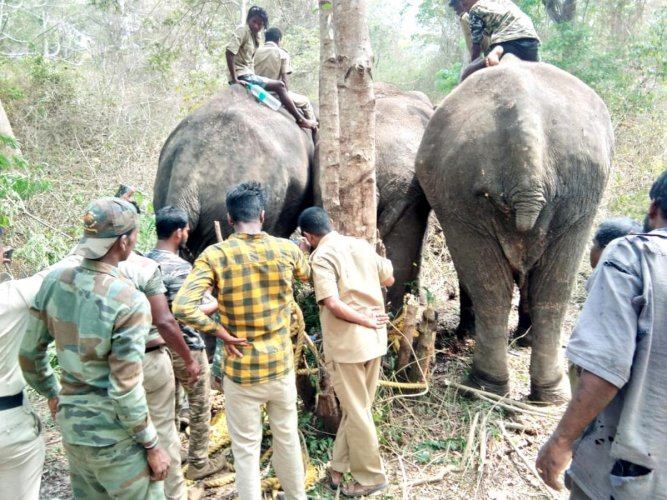 A team of veterinarians cleans the wound of the injured wild elephant in Banavara reserve forest in Somwarpet. DH PHOTOs