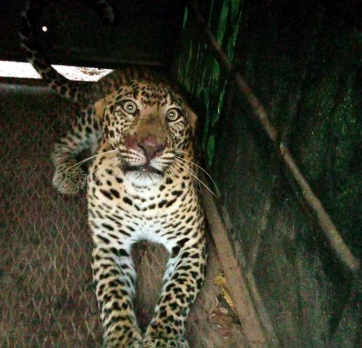 A six-year-old leopard was trapped in a cage set by the forest officials in Heskotthoor near Korgi of Kundapur taluk and it released into the Mookambika Wildlife Sanctuary on Friday.
