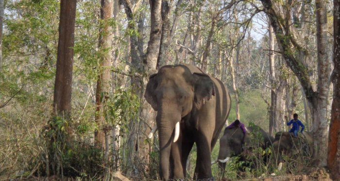 Mahouts wait for Gopi, the musth elephant, which has escaped into the forest from Dubare elephant camp.