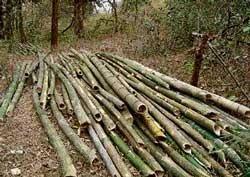 Bamboo clearing leaves Dandeli denuded