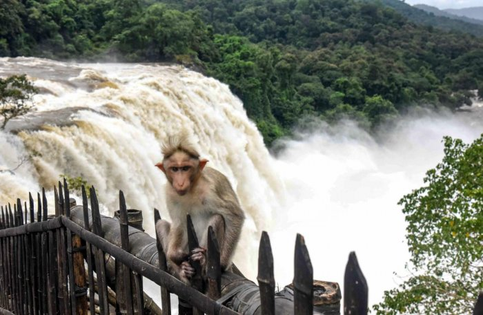 A monkey sits in the backdrop of a heavy gush of water following heavy monsoon rainfall, at Athirappilly waterfall in Thrissur, on Monday. PTI