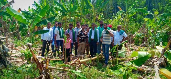 Banana plantation destroyed by elephants