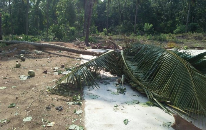 A coconut tree was uprooted following heavy rain at Chatkalpade near Hebri in Udupi district.
