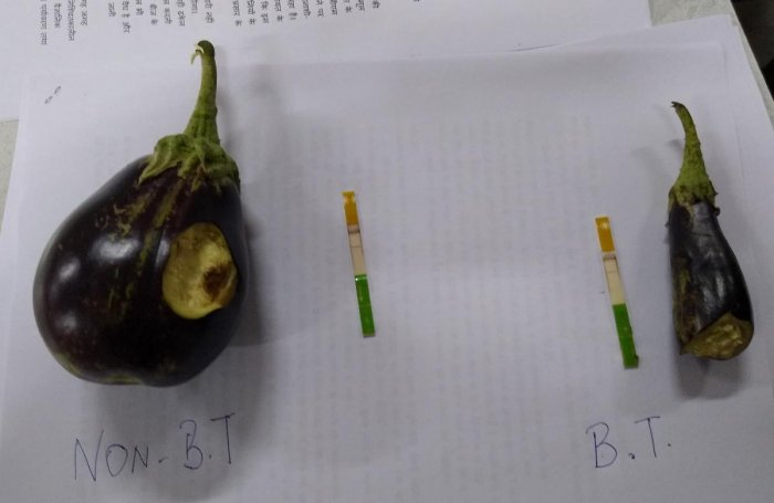 Bt and non-Bt brinjal and the corresponding test strips displayed