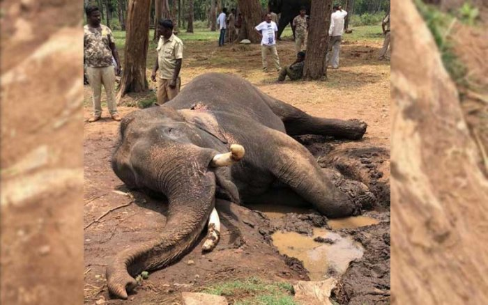 Drona, the elephant which died recently at Mathigodu elephant camp.