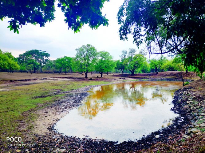 Good spells of showers in the recent past have injected life into ponds in the forests in Bandipur, Nagarahole Biligirirangana Betta tiger reserves. PHOTO BY SPECIAL ARRANGEMENT