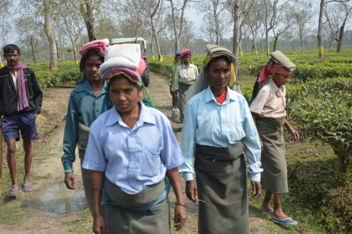 Pluckers in a tea garden under Jorhat Lok Sabha constituency in Assam. Photo: Pankaj Bora, Golaghat.