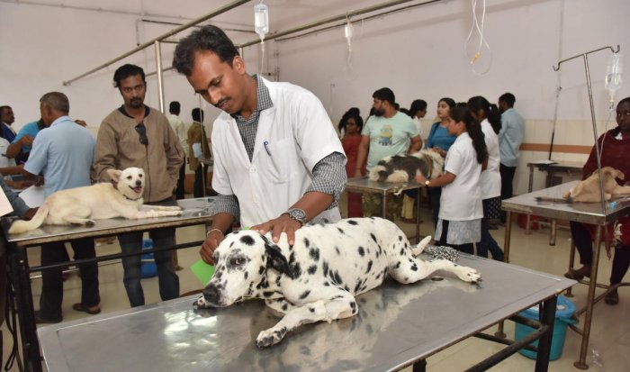 Doctors attend to dogs at the Veterinary College Hospital at Hebbal. DH Photos/Janardhan B K