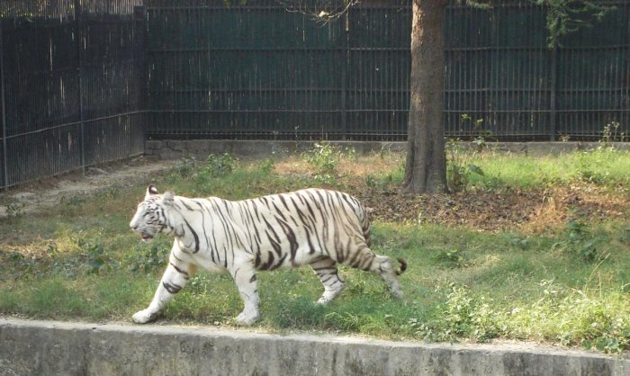 Mumbai's last captive white tiger Bajirao dies at 18