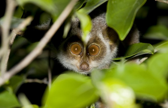The forward set eyes of the loris surely leave an impression if one is to come face-to-face with the animal, which hardly ever occurs in the natural setting. PHOTO COURTESY: N A NASEER
