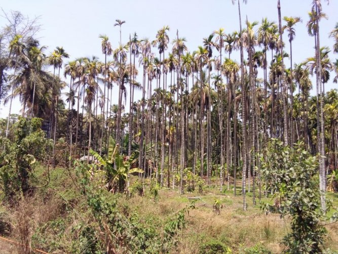 Arecanut trees that are withering in Puttur.