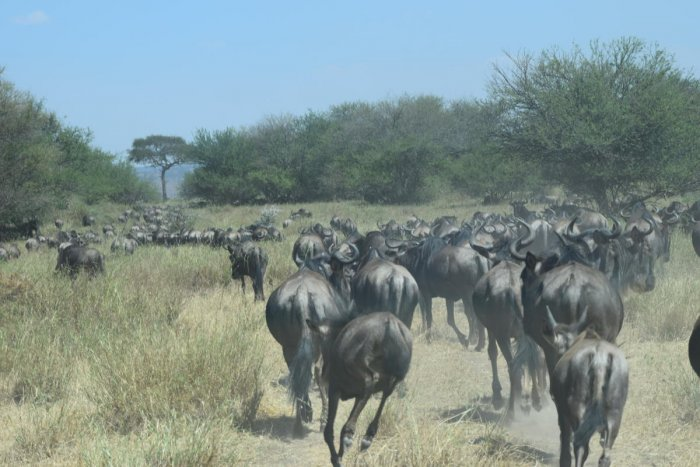 Wildebeest migrating from Serengeti in Tanzania to Kenya PHOTOS BY AUTHOR