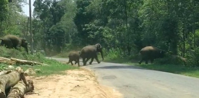 A herd of wild elephants crosses the road and make their way into Dubare Reserve Forest area in Kodagu.
