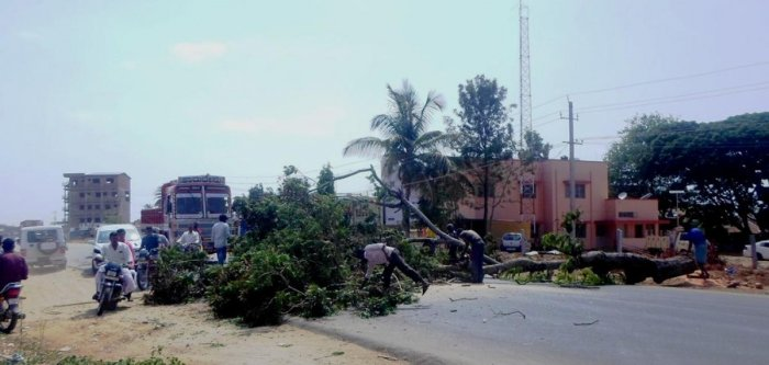 A tree was felled in front of the police station on T H Road in Ajjampura.