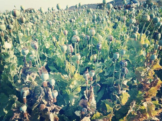 A photo of opium farm in Mandsaur (File photo)