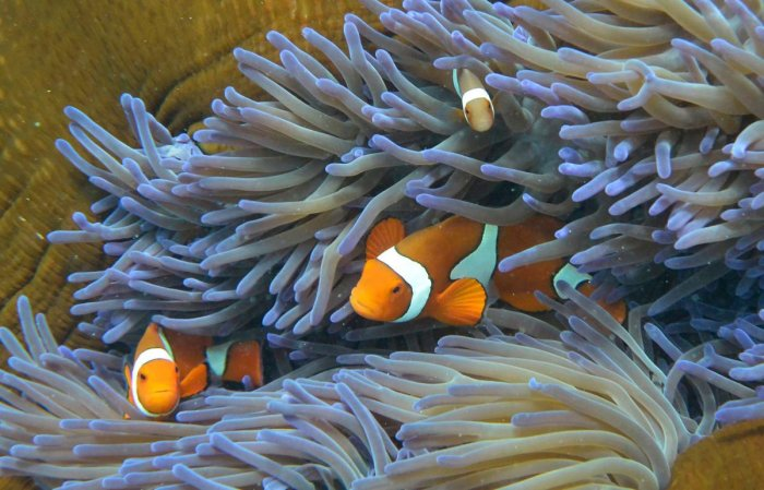 Fish swim through the coral of the Great Barrier Reef, along the central coast of Queensland. AFP FILE PHOTO