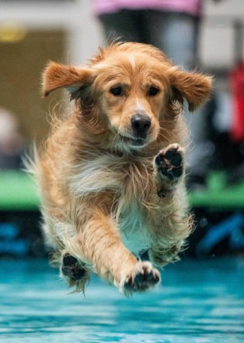 "Golden Retriever dog ""Balou""(Photo AFP)"