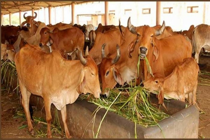 The results of the study suggest that cows in these shelters suffer chronic stress due to the health and management issues such as old age, low-quality feeding practices, less area per cow, improper flooring and cleanliness.