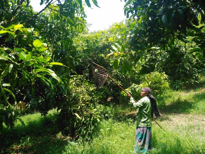 Care is taken while plucking the mangoes. PHOTOS BY AUTHOR