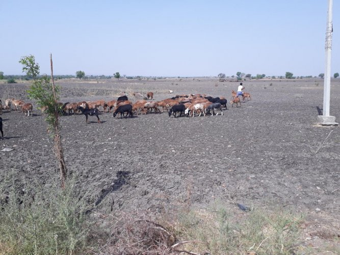 Livestock on a parched land in Raichur district, Karnataka. dh photo/Anitha Pailoor