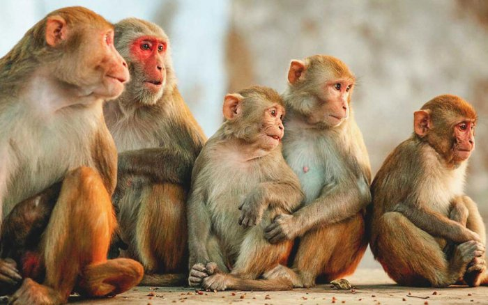 A troop of monkeys died from suspected heatstroke in India as scorching temperatures that have lasted more than a week, that took a mounting toll on humans and animals, media reports said Saturday. (TPML Photo)