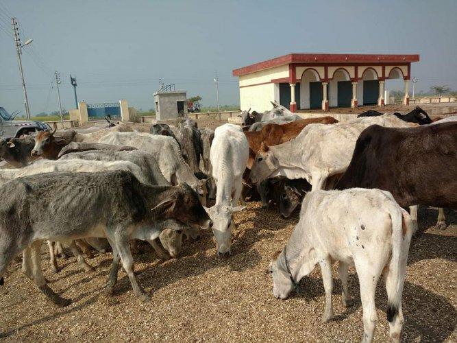 A herd of stray cattle in the Bundelkhand region of Uttar Pradesh.