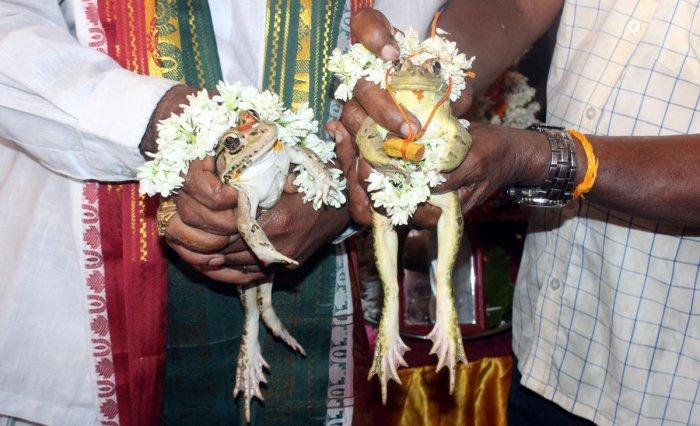 A marriage of frogs was organised by Udupi Jilla Nagarika Samithi Trust and Pancharathna Seva Trust in Udupi on Saturday.