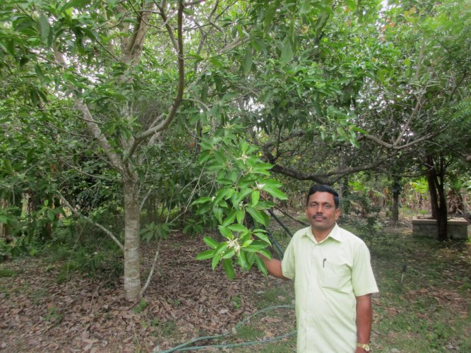 Sunil seen next to a Sampige plant on his farmland at Thotadakere in NR Pura taluk.