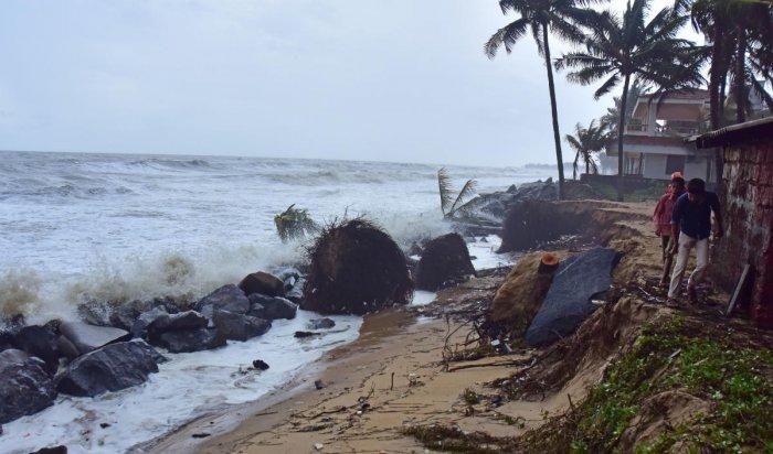 Coconut trees are uprooted at Someshwara Uchchila, following sea erosion.