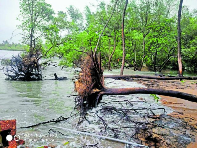 Trees uprooted in river erosion in the estuary near Sasihithlu beach.