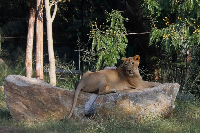 An Asiatic lioness. Pic for representation purpose only