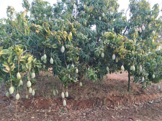 There is no migratory population in Srinivaspur taluk as residents work in mango orchards. The town has been selected for the dementia study for this reason. (DH File Photo)
