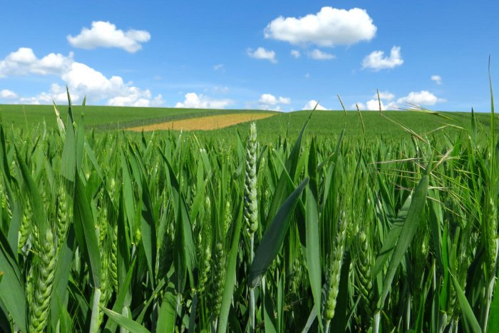 Scientists have engineered wheat plants that utilise water more efficiently and may be able to better survive drought conditions arising due to climate change. (REUTERS Photo)
