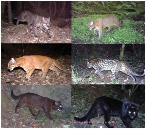 wild hues: (From top left, clock-wise) Tightly-rosetted morph, Gray morph, Ocelot morph, Melanistic form, Cinnamon morph and Golden morph of the Asiatic golden cat. Sahil Nijhawan/Panthera/APFD