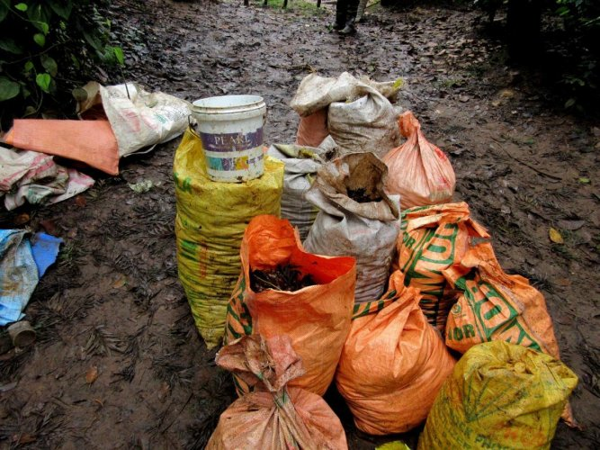 African Giant Snails caught and filled in sacks at a plantation in Shanivarasanthe during the 'Hidi Kollu' (catch-and-kill) campaign last year. DH File Photo