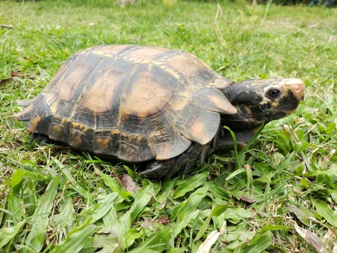 The new tortoise species discovered in Arunachal. PHOTO CREDIT: WCS