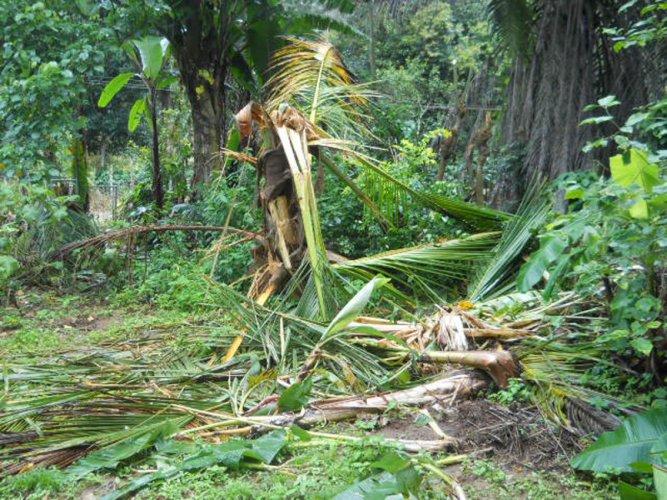 A damaged coconut tree at Aigooru near Suntikoppa.