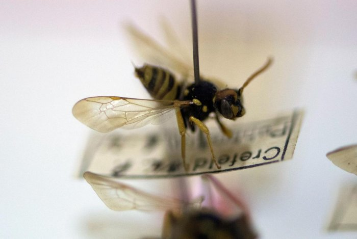 A bee collected by the volunteer-run Entomology Society at the group's home in Krefeld, western Germany. (AFP Photo)