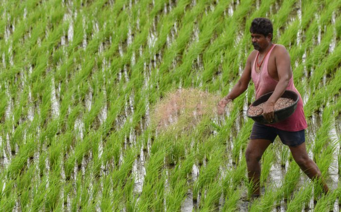 Farmer seen throwing fertiliser and manure at his paddy field at Avaragere lake in Davangere. DH Photo/Anup R Thippeswamy.