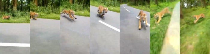 Two bikers had a narrow escape at the Muthanga Wildlife Sanctuary when a tiger gave them the chase of their life before it disappeared into the forest.
